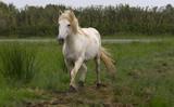 nice horse wild in camargue french Region