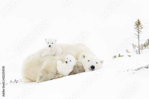 Canvas Ijsbeer Polar bear mother (Ursus maritimus) playing with two new born cubs, Wapusk National Park, Manitoba, Canada