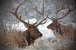 Pair of Bull Elk