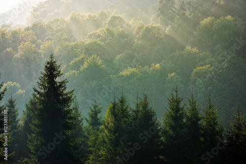 spruce forest on foggy sunrise in mountains - 123383130
