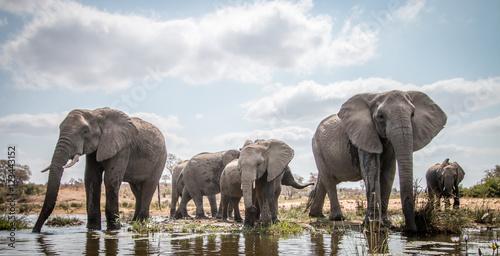 Wall mural Drinking herd of Elephants.
