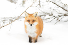 Red fox (Vulpes vulpes) standing in the snow in Algonquin Park