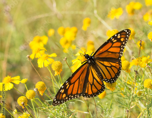 Poster Migrating female Monarch butterfly feeding on a Sneezeweed
