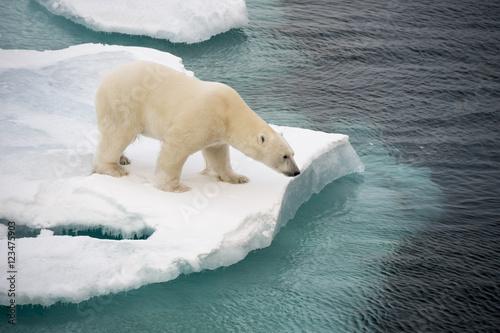 Aluminium Ijsbeer Polar bear walking on sea ice