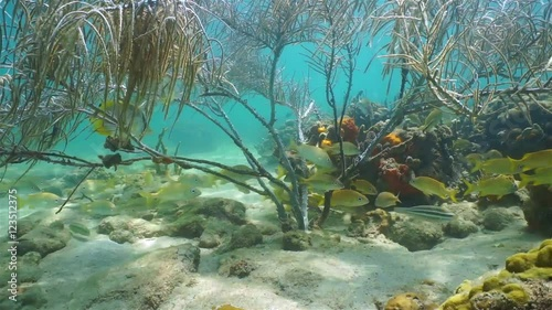 Poster Water planten Underwater life, shoal of grunt fish under a gorgonian sea plume coral on seabed of the Caribbean sea