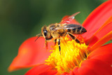bee  - Fine Art prints