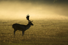 Misty morning and fallow deer