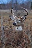 White-tailed deer buck in the grass