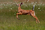White-tailed deer fawn running through the meadow