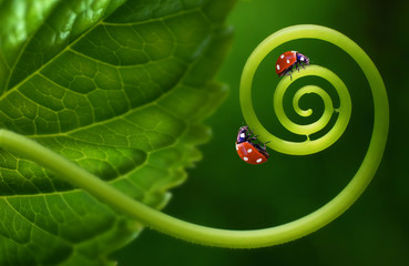 Two insects ladybirds on leaf curl spiral on a soft blurred green background. Original concept of the idea, beautiful cheerful colorful artistic image for children. Macro close-up.