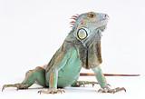 skin lizard