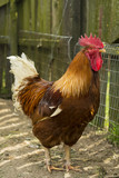 Single brown rooster