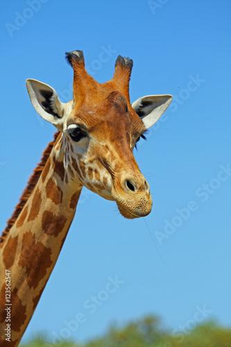 Plakát, Obraz Tête de Girafe