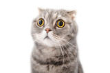 Portrait of a frightened cat closeup. Breed Scottish Fold..
