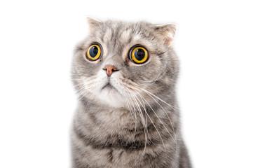 Portrait of a frightened cat closeup. Breed Scottish Fold..