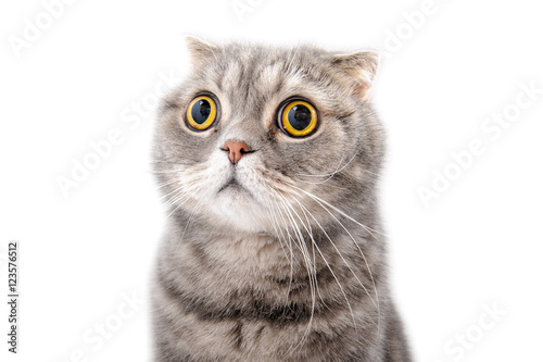 Portrait of a frightened cat closeup. Breed Scottish Fold.. - 123576512