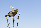 plum blossoms and a bird called Japanese White-eye