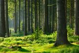 Niespotykany naturalny las świerkowy w ciepłym świetle Morgensonne