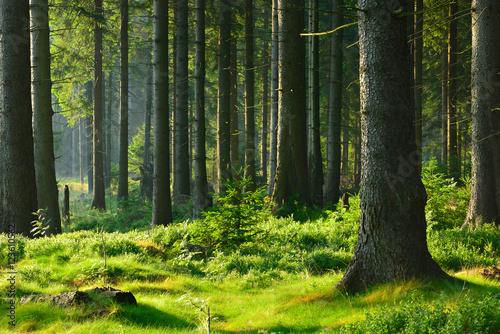 nietkniety-naturalny-swierkowy-las-w-cieplym-swietle