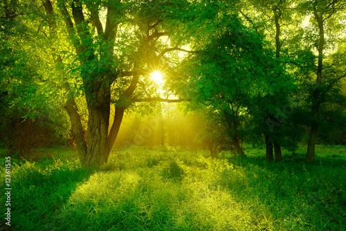 drzewo-czarnego-szaranczy-na-polanie-w-lesie-oswietlone