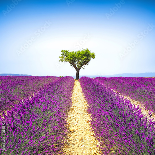 Plexiglas Lavendel Lavender and lonely tree uphill. Provence, France