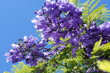 Branch of jacaranda purple flowers tree