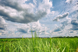 Sugar cane plantation and cloudy sky - Brazil coutryside