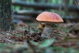 Wild red cap mushroom
