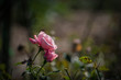 Withered pink rose in the garden. Shallow depth of field.