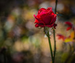 Withered red rose in the garden. Shallow depth of field.