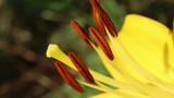Stamens and pistil of lily. Reproductive organs of a flower – a pistil and stamens.