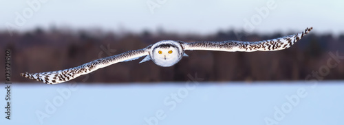Snowy owl flies over a snowy field - 123721502