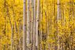 Yellow aspen trees in Durango, Colorado
