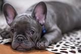French Bulldog puppy 1