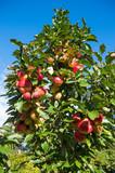 Apfelbaum - Apfelernte