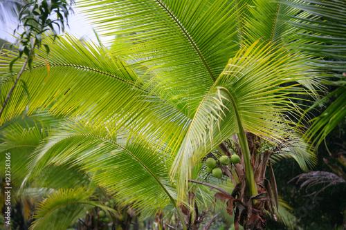 Palmiers et noix de coco poster affiche acheter le sur - Palmier noix de coco ...