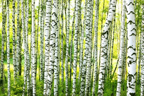 lato-w-brzozowym-lesie