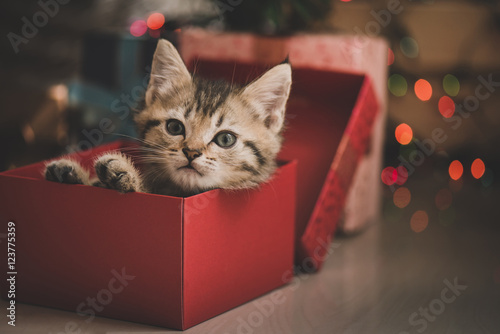 kitten playing in a gift box