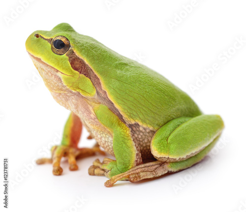 Aluminium Kikker Green frog isollated.