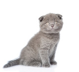 Scottish lop-eared kitten looking at camera. isolated on white