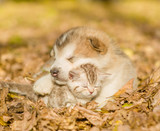 Alaskan malamute puppy sleep with tabby kitten in the autumn park