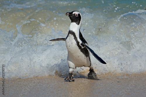 Plakát An African penguin (Spheniscus demersus) running on beach, Western Cape, South Africa