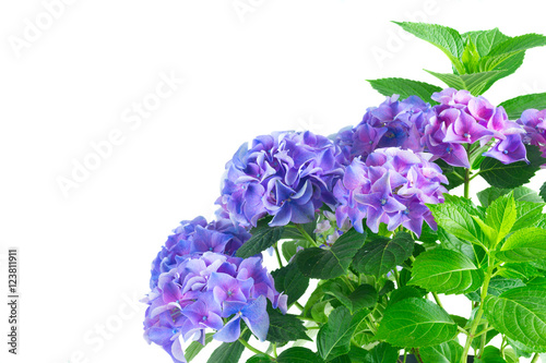 Plexiglas Hydrangea blue and violet fresh hortensia fresh blooming flowers isolated on white background