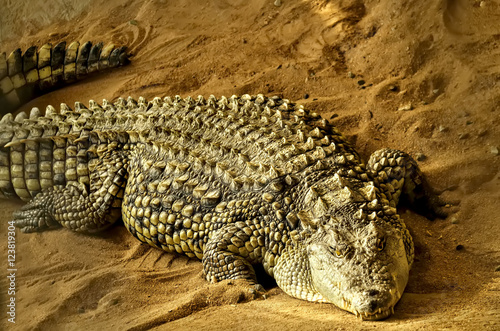 Poster Crocodile on the sand