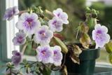 Blooming Flower - achimenes ambroise verschaffelt