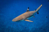Blacktip Shark - 123837357