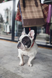 Adorable french bulldog with his owner in walk.