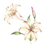The image of a lilies. Hand draw watercolor illustration - 123863543