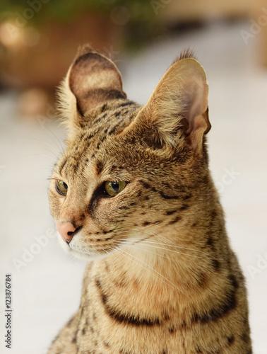 F1 Savannah Katze Portrait, Hybrid zwischen Serval und Hauskatze