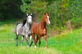 Two arabian horses run in spring landscape - 123899749